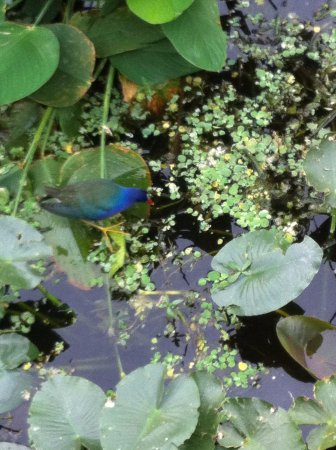 Fire Island, État de New York : I saw this bird while walking through the wetlands in florida
