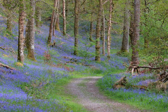 Loch Lomond and The Trossachs National Park, UK: Bluebell carpet through the forest to the hilltop