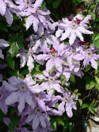 Tintern, UK: Summer Climbing Flowers in the Anchor Inn Garden!