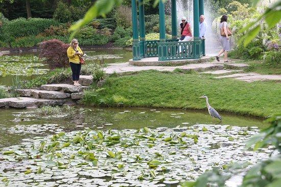 Taplow, UK: Carp-filled ponds with heron