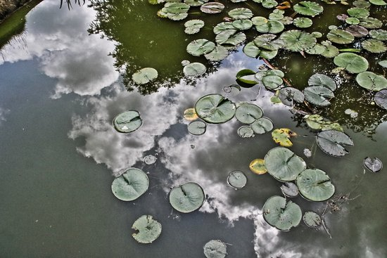 Taplow, UK: Water-lilies with reflection of sky