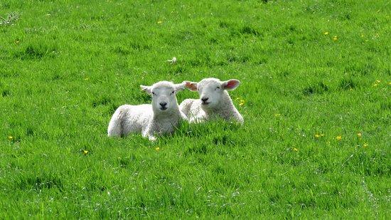 Llandegla, UK: The lambs think its peaceful too!!