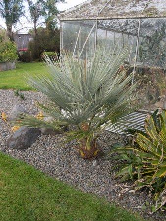 Whanganui, New Zealand: An Afghanistan palm, Nannorrhops ritchiana