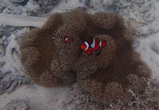 Socorro, Filipina: Under the lagoon... very clear water -near the edges- and lots of clown fish....