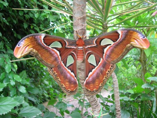 La Gueriniere, Prancis: The world's biggest butterfly.