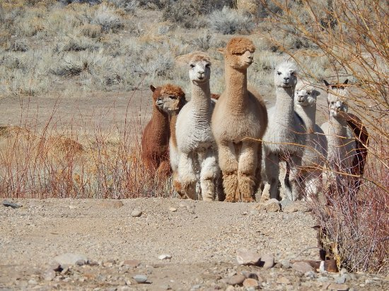 Rattlesnake Creek Alpacas