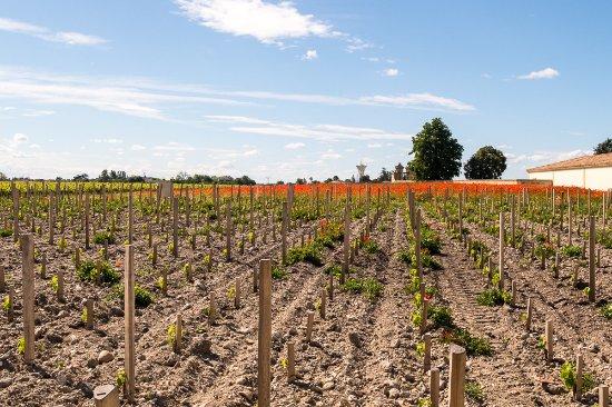 Margaux, France : the vines