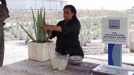 Savaneta, Aruba: Aloe factory tour