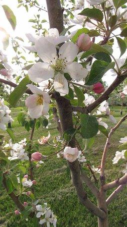 Chateauguay, Канада: Le verger est en fleur et c'est magnifique!