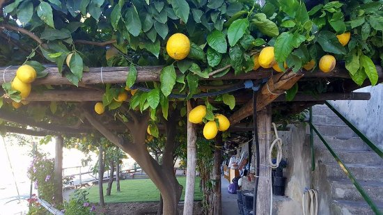 Casa Soriano: Lemons growing on the terrace