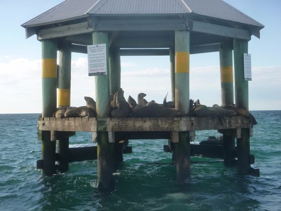 Queenscliff, Australia: Beautiful seals