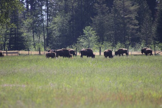 Nanaimo, Canada: Bison from a distance