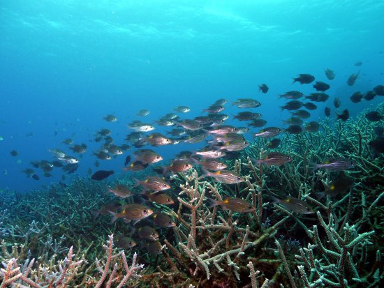 school of squirrelfish over forest of staghorn corals in nagura bay