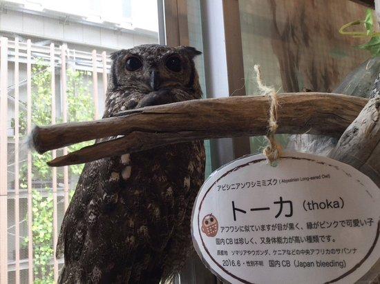 Musashino, Japon : アビシニアンワシミミズクのトーカです