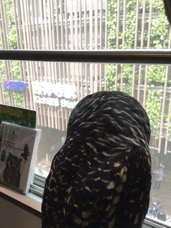Musashino, Japon : 窓から観察中♪アカアシモリフクロウ