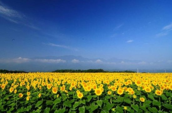 Akeno Sunflower Fields Day Trip with...