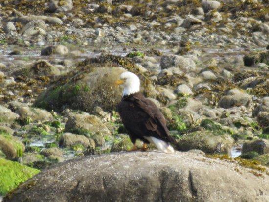 Eagle in Parksville Bay