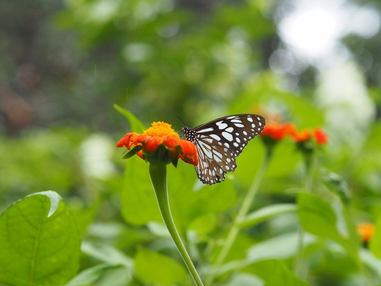 Kep, Cambodia: Beautiful butterflies & flowers
