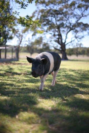 Mudgee, ออสเตรเลีย: free range pigs