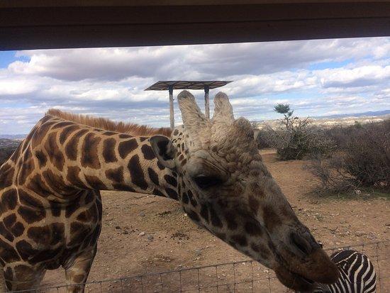 Camp Verde, AZ: Pilgrim a very friendly giraffe at Out of Africa Wildlife Park.
