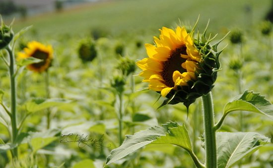 Middleton, WI: Sunflowers just beginning to open