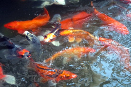 Japanese gardens bw premier boulder falls inn lebanon for Koi fish price guide
