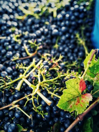 Balnarring, Австралия: Pinot Noir in the midst of vintage 2017