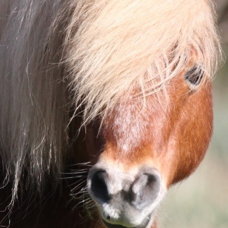 Osbaston, UK: Josh, one of the adorable Shetland ponies on the farm