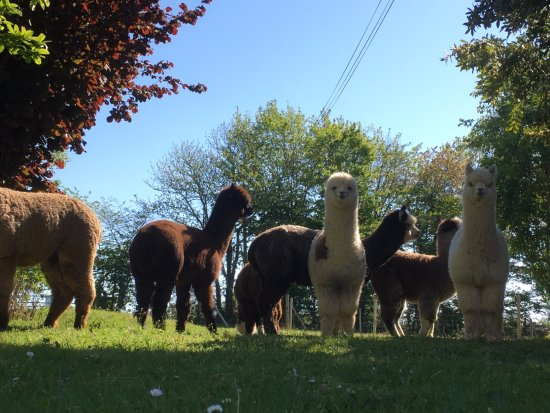 The Alpaca B&B