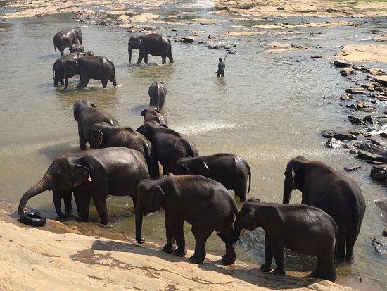 Pinnawala, Sri Lanka: baignade des éléphants !!