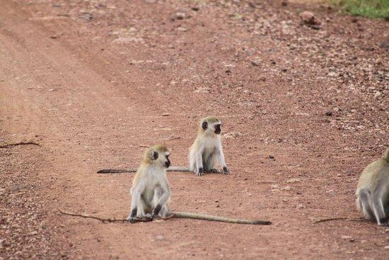 Lake Manyara National Park, Tanzania: Vervet Monkey