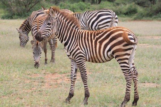 Lake Manyara National Park, Tanzania: Zebras