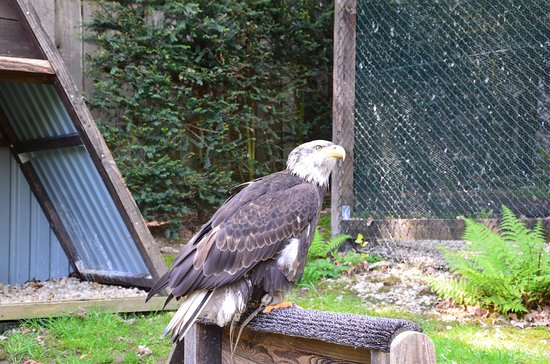 Bad Sachsa, Germany: Sea Eagle