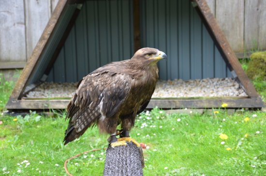 Bad Sachsa, Germany: Golden eagle