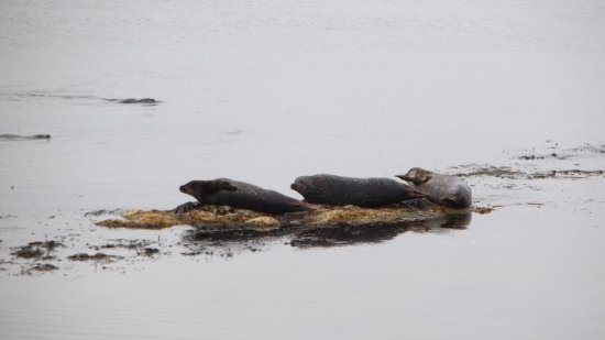 Rathlin Island, UK: Seals on Beach