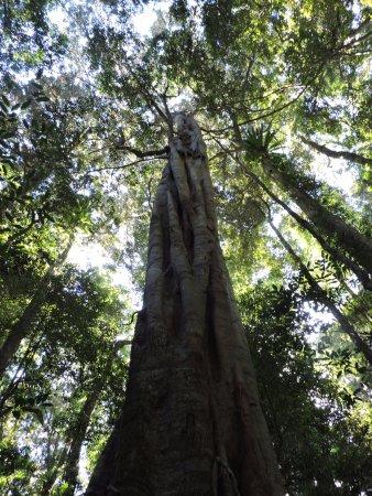 Maleny, Australia: Pristine forest