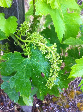 Rendez-vous au Chateau: The vines start to blossom.. great hopes for the vintage.