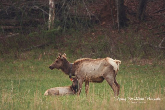 Great Smoky Mountains National Park, NC: A possible mother. She just stayed in the far back of the field with this young elk.