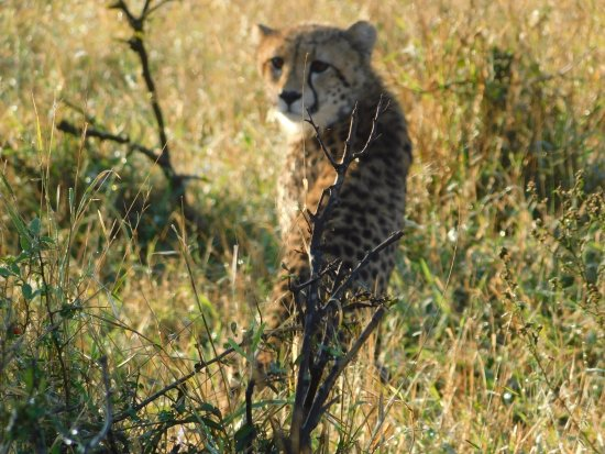 Camp Shonga: We say four Cheetahs!