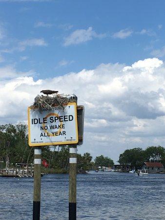 Homosassa, FL: Bird of prey feeding baby in nest