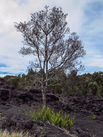 Kilauea Iki Trail: tree