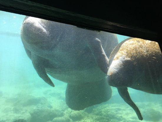 Homosassa Springs, FL: underwater viewing area