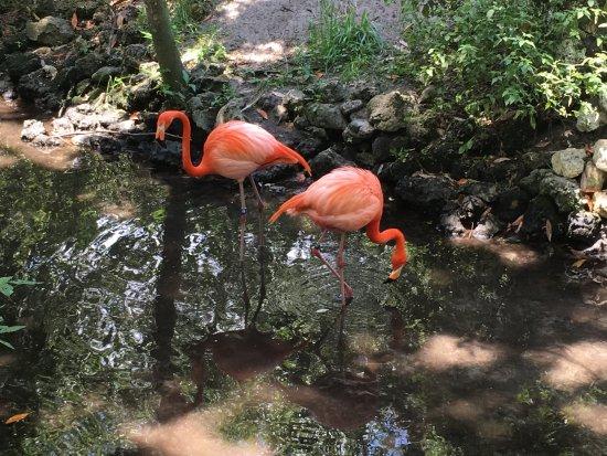 Homosassa Springs, FL: flamingos