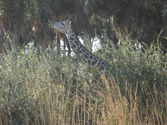 Animal Kindom in the grass lands - Picture of Disney's Animal ...