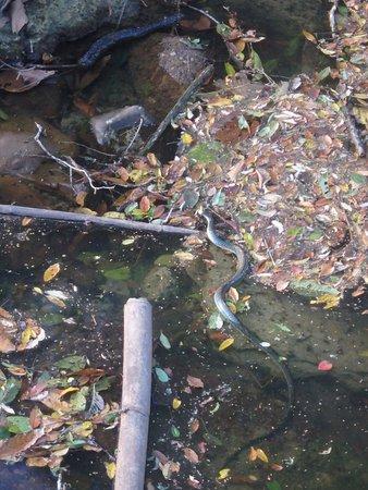 Manzanillo, Kosta Rika: serpent