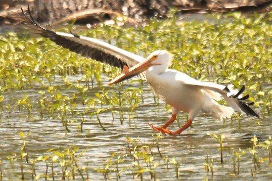 Brighton, CO: Barr lake state park, white pelican