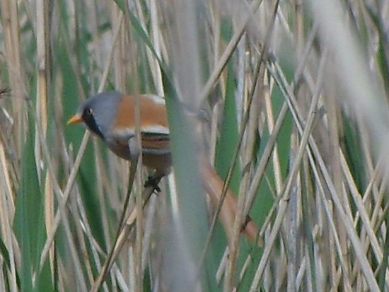 Westleton, UK: spotted in the reeds