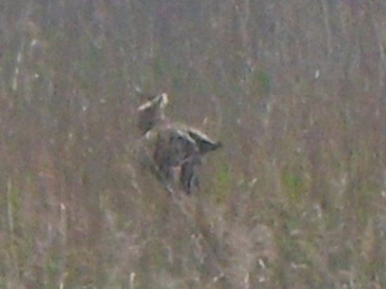 Westleton, UK: this is a bittern but not a very clear photo