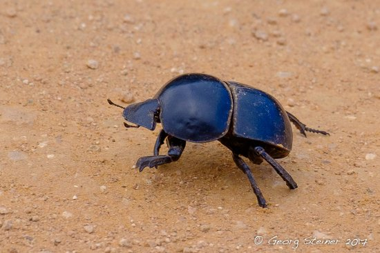 Addo Elephant National Park, Νότια Αφρική: Flightless Addy Elephant Dung Beetle - they have the right of way on the roads!