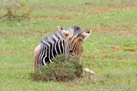 Addo Elephant National Park, Νότια Αφρική: Baby Zebra